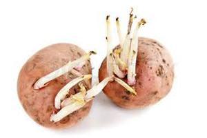 вред от картофеля