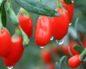 ягоды годжи применяют для похудения