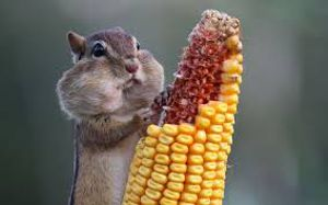 Диеты с применением кукурузы