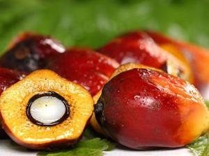 плоды масляничной пальмы