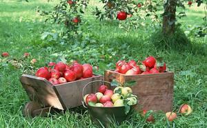 Выбор качественного яблока
