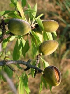Зеленые плоды миндального дерева