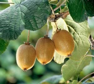 Как выбрать хороший плод