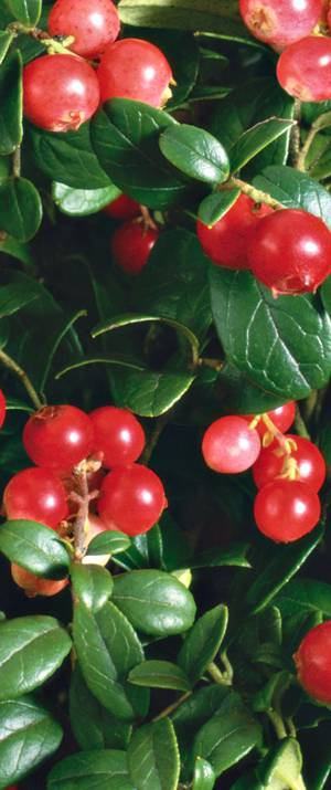 Полезные свойства брусничных ягод