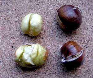 Польза и вред, лечебные свойства конского и съедобного каштанов