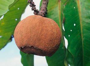 Противопоказания к применению плода бертолетии
