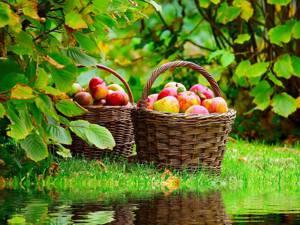 Сколько можно яблок в день