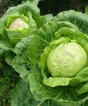 Химический состав белокочанной капусты