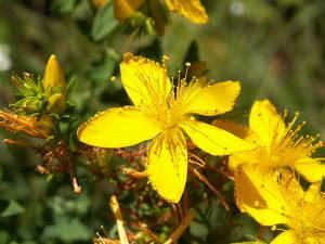 Возможный вред от употребления растения