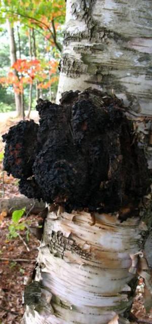 Лечебные свойства гриба чаги