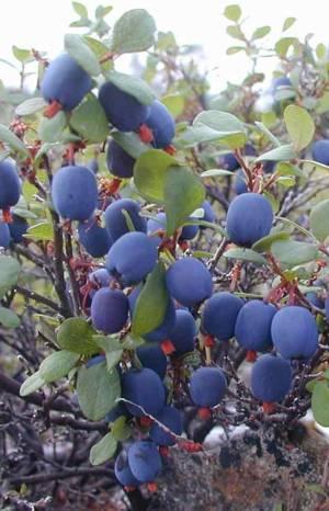 Польза ягод голубики для человеческого организма