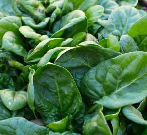 Противопоказания и вред от употребления шпината