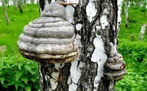 Сферы применения и полезные свойства березовой чаги