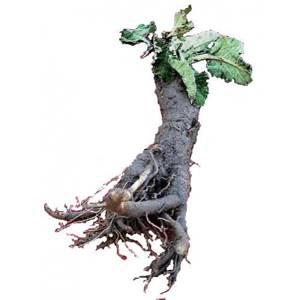 Химический и витаминный состав корня лопуха