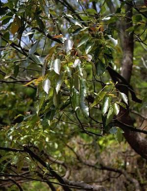 Целебное и лечебное применение коры коричного дерева