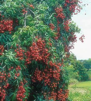 Химический состав и полезные свойства плодов личи