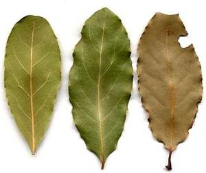 Какими полезными и лечебными свойствами обладает лавровый лист