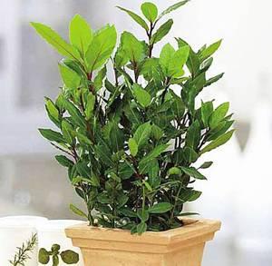 Особенности выращивания лаврового листа в домашних условиях