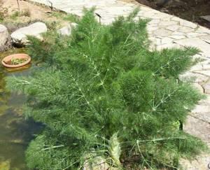 Укроп и фенхель - это разные растения или одно и то же
