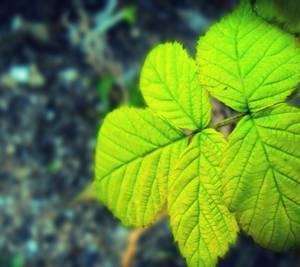 Как нужно заваривать листья малины