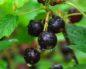 Калорийность черной смородины различных способов приготовления