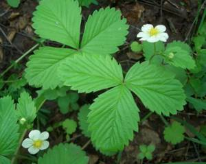 Полезные свойства и возможные противопоказания листьев земляники