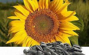 Польза и возможный вред семечек подсолнуха