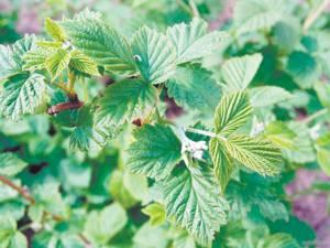 Польза и вред лечебного чая из листьев малины