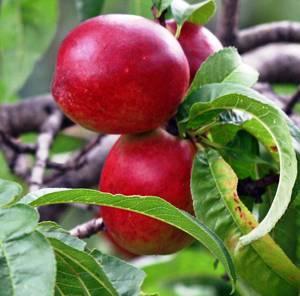 Химический и витаминный состав нектаринов