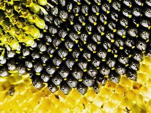 Химический состав и пищевая ценность семечек подсолнуха