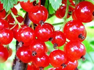 В чем заключается польза и вред красной смородины для человеческого организма