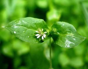 Лечебные свойства травы мокрицы для организма человека