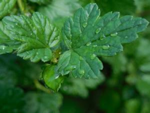Основные полезные свойства листьев крыжовника и их возможные противопоказания