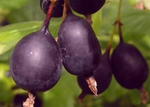 Полезные и лечебные свойства сорта крыжовника Черный негус