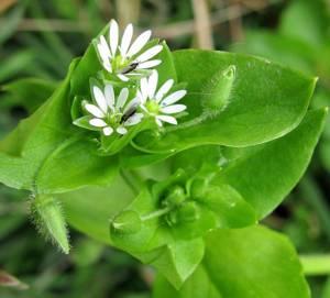 Полезные свойства и возможные противопоказания травы мокрицы