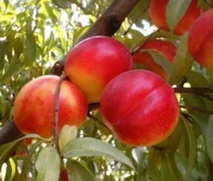 Польза и возможный вред нектаринов