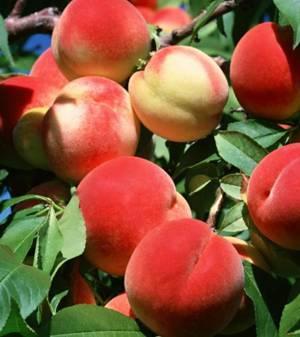 Польза и возможный вред персиков
