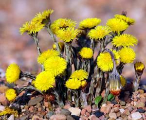 Сферы применение травы и соцветий мать-и-мачехи