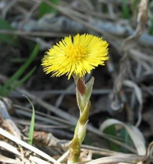 Цветок мать-и-мачехи и его польза