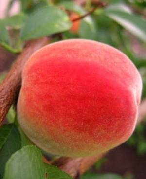 Чем могут быть полезны и вредны персики для организма мужчины и женщины