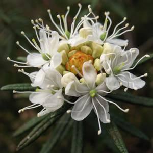Багульник болотный (лат. Ledum palustre), его польза и вред