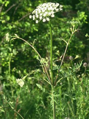 Где растет болиголов и как выглядит это лекарственное растение