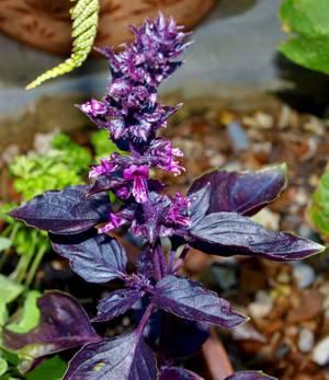 Какими полезными свойствами обладает фиолетовый базилик