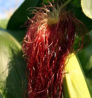 Как нужно заваривать и с пользой принимать кукурузные рыльца