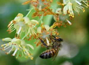 Как определить, что мед действительно липовый
