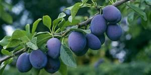 Калорийность, химический состав и пищевая ценность сливы и алычи