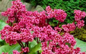 Корни, листья лекарственной травы бадан и их полезные свойства