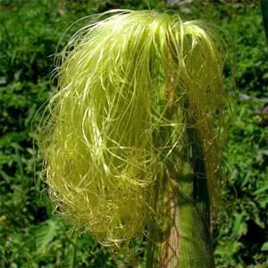 Лечебные, полезные свойства и возможные противопоказания кукурузных рылец