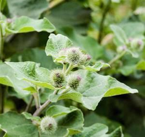 Лечебные свойства и возможные противопоказания листьев лопуха