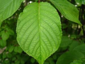 Лечебные свойства и химический состав листьев вишни